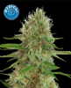 Kera Medical White Widow Female 10 Pot Seeds